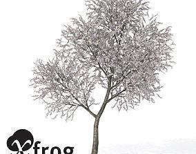 3D model XfrogPlants Sour Cherry