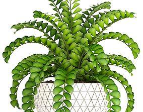 3D Zamioculcas bush