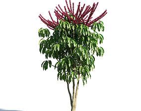 3D model Schefflera actinophylla 54 am154