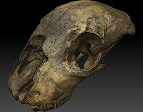 3D model Lamb Skull Scan