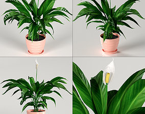 3D model Indoor plants - Spathiphyllum