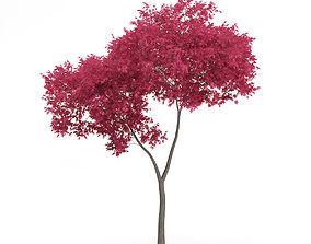3D Palmate Maple Acer palmatum 5m