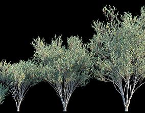 Eucalyptus Lehmannii 3D