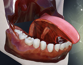 Human Teeth Gums and Tongue Anatomy 3D model