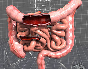 Human Large and Small Intestines Anatomy 3D