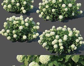 3D model Hydrangea arborescens Nr1 - Annabelle V2