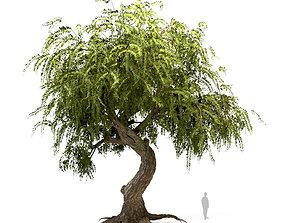 3D model The Weeping Beech Tree
