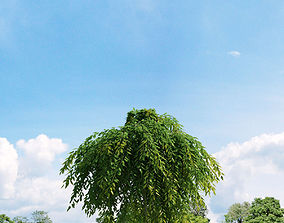 3D Salix repens var nitida 022 v1 AM136