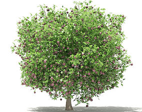 Common Fig Tree with Fruits 3D model