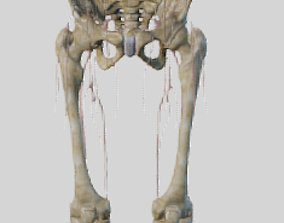 Lower Limb skeleton and nerves 3D model