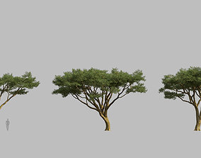 Vachellia tortilis Acacia tortilis 01 Growfx and 3D