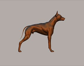 sleek semi muscular doberman pinscher dog model