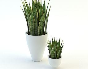 Plants Sansevieria trifasciata 3D asset