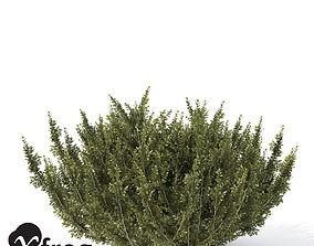 3D model XfrogPlants African Boxwood