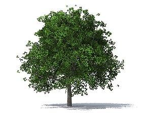 plant maple tree 3D