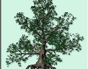 3D Black Oak 3