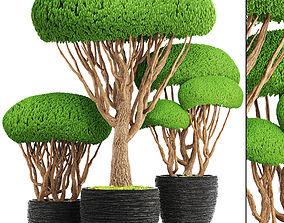 bonsai tree botany 3D model