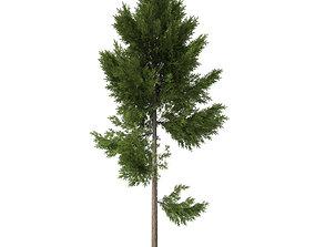 pine tree around 20 m 3D model
