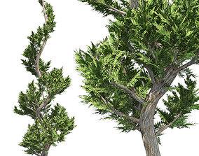 Hollywood Juniper Tree Spiral 3D model