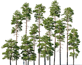 3D Pinus sylvestris Mega Collection 12 models H10-27m
