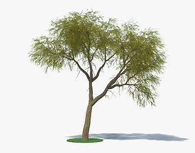 3D Acacia Estrophiolata