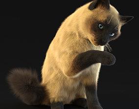 Siamese cat 3D model