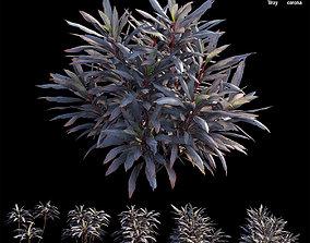 3D forest Cordyline fruticosa plant set 04