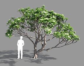 Plumeria 2 3D model