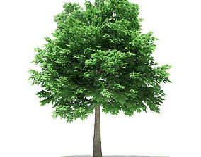 3D Norway Maple Acer platanoides 7m