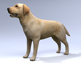 Labrador 3D asset