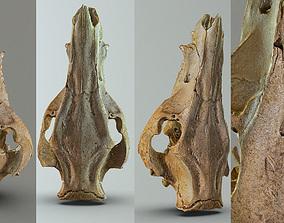 Wild Boar skull 3D asset