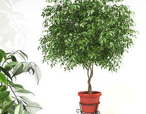 3D Ficus Benjamina