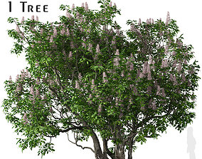 3D model California buckeye or Aesculus californica Tree