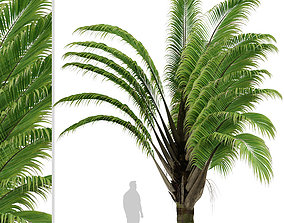 Set of Dypsis decaryi or Triangle Palm Trees - 2 Trees 3D