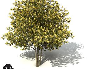 XfrogPlants Willow Bottlebrush 3D model
