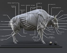mammal Bison Ecorche - Model Muscles Study -