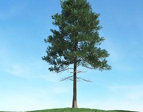 3D model Tall Pine Tree