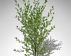 XfrogPlants Grey Willow 3D model