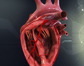 Human Heart Cutaway Anatomy 3D model section
