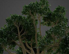 2021 PBR Rubber Fig Collection - Ficus Elastica 3D