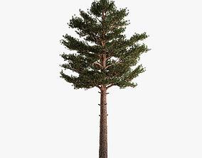 3D Scots Pine plant