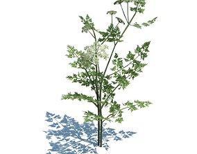 Green Aethusa Cynapium Plant 3D