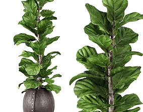 3D model Ficus Lyrata 2