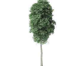 Boxelder Maple Tree 3D Model 11m