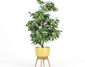 3D Ficus Benjamin