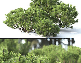 Pinus Mugo 02 3D model