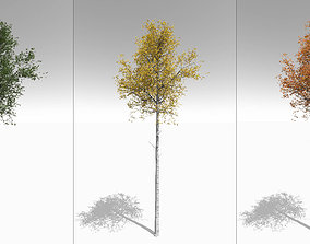 Tall Mature Quaking Aspen - Variation 3D model