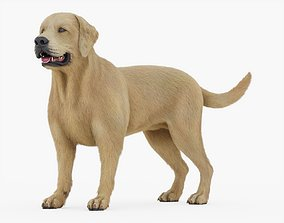 3D asset Labrador Retriever Rigged with Fur