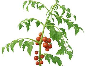 3D model Low Poly Tomato Plant