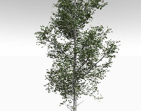 Adult Quaking Aspen - Variation 1 3D
